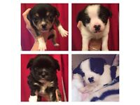 Chihuahua/ Japanese Chins For Sale