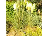 FREE - Pampas Grass