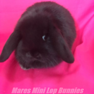 ♥♥♥ Purebred Mini Lop Baby Rabbits ♥♥♥ Vaccinated ♥♥♥ Londonderry Penrith Area Preview