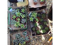 Rockery plants succulents 1.25 each or 10 for 10 pounds