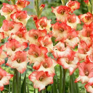 3x Gladiolus Glamour BOOGIE Flower bulbs,  BULB gladioli Glamourglad