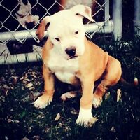 NKC Registered American Bulldog Puppies