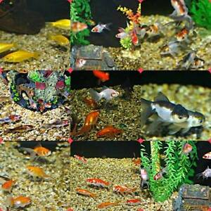 Goldfish lots of choice shipped to your door!!!!!! South Windsor Hawkesbury Area Preview