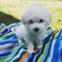 Maltipoo Puppies ~ Perfect Toy Breed