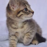 MIX BENGAL KITTENS (DISCOUNT ONLY UNTIL MONDAY) THREE LEFT!!!