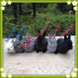 5 Netherland dwarf cross bunnys looking for their forever homes
