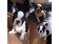 French bulldog puppy. REDUCED
