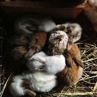 Mini Lop kits for sale! ONLY 2 LEFT!
