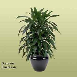 DRACAENA DEREMENSIS (Janet Craig/ Green Corn Plant) St Clair Penrith Area Preview