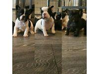 KC Reg French Bulldog Pups (Multi Champion Lines)