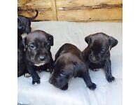 !!!!!!Neapolitan mastiff pups cheap!!!!!!