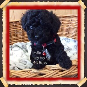 Caniche TOY 3-4 adulte poodle