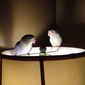 Two love birds for sale