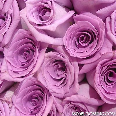 Fresh Cut Lavender Roses Flower Delivery Bouquet Event Party Diy Bulk  12 Or 24