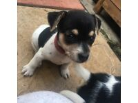 1 Jack Russell female puppies for sale