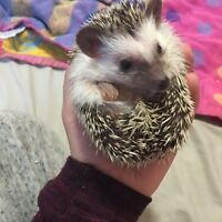 Wanted- Hedgehogs!!