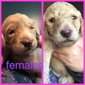 F1B Labradoodle puppies