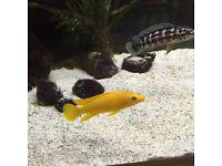 Neolamprologus leleupi tank breed