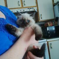 Exotic Shorthair Kitten Female * Blue eyes *