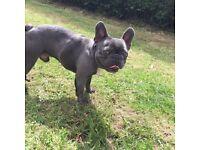 Blue boy French bulldog for sale