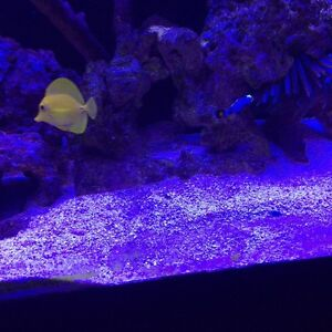 Saltwater Healthy yellow tang