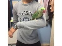 Baby Alexandrian parrot for sale