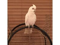 Beautiful White Parrot Fully tamed