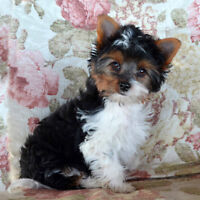 Gorgeous tri-color Yorkshire Terriers, (Biewer) 16 wk. male