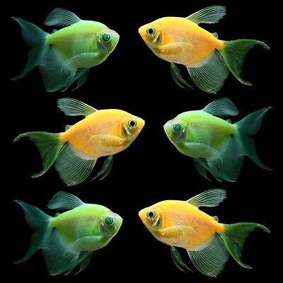 Glofish R  Long Fin Collection   Ships Overnight For  9 50