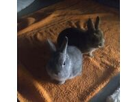GORGEOUS 8 MONTH OLD DWARF RABBITS WITH HUTCH FOR SALE!!! £115