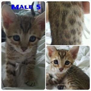 EXOTIC BENGAL KITTY CATS