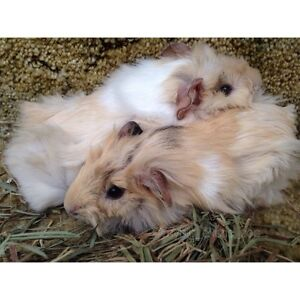 Baby Guinea pigs for sale to good homes !