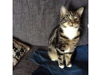 Super friendly purry kitten, 7 month old male, tabby with white bits