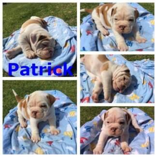 Australian Bulldog Puppies for sale Barellan Narrandera Area Preview