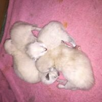 Beautiful Himalayan kittens ( flame point and dark lilac point )