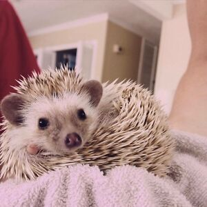 Hedgehog for rehome