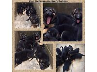 GERMAN SHEPHERD PUPPIES NOW READY
