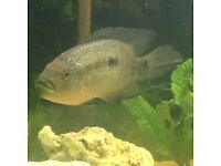 Jack Dempsey for sale