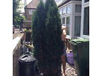 Free tree