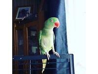 Green alexandrine parrot