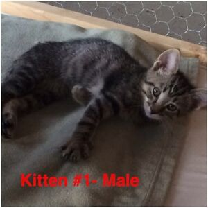 Spayed/Neutered + Vetted Rescue Kittens- 8-14 Weeks Old :)