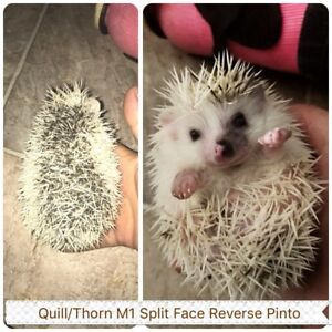 Baby Hedgehogs Available Now!