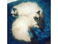 2 ragdoll cats