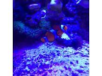 Marine True perc clownfish