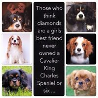 Looking for a cavalier King Charles spaniel puppy