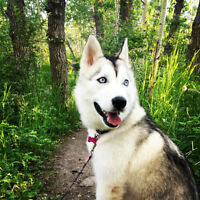 Fun loving, blue-eyed siberian husky for sale