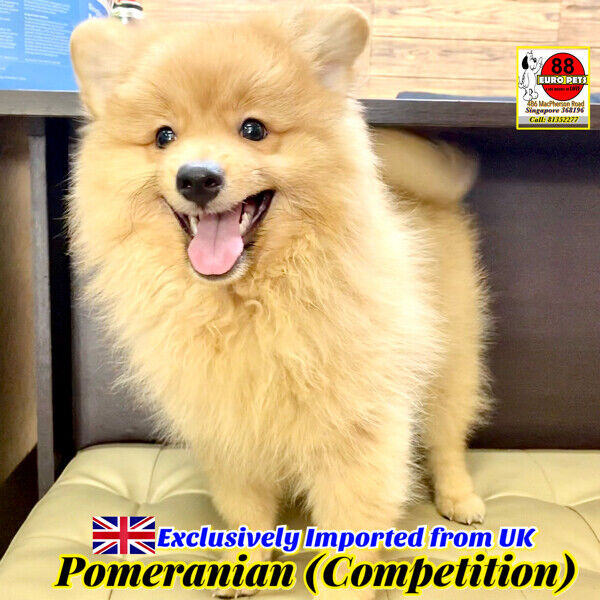 [SOLD] Pomeranian for Sale 88 Euro Pets Call 81352277 (UK Imports)
