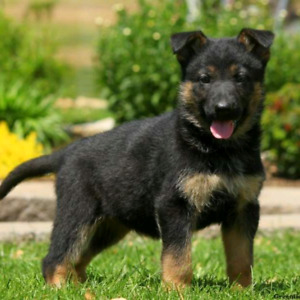 Wanted German Shepherd puppy