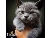 British Blue Kittens