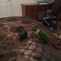 Two conures + cages + toys